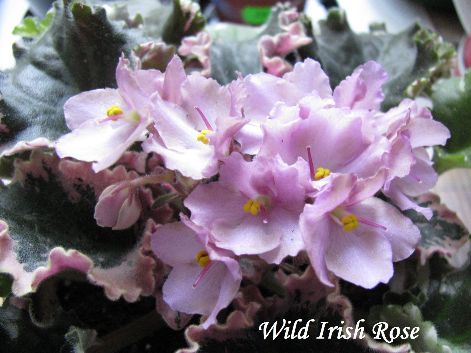 ирландская роза фото фиалки освещение